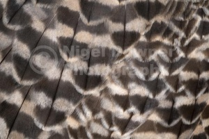 BI-0122 Saker falcon wing feathers abstract