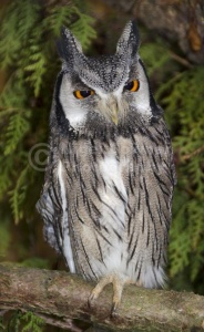 BI-0129 Southern white-faced scops owl
