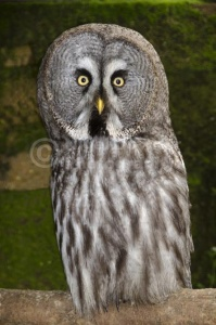 BI-0137 Great grey owl