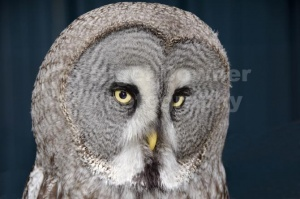 BI-0138 Great grey owl