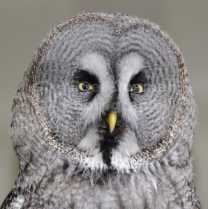 BI-0139 Great grey owl