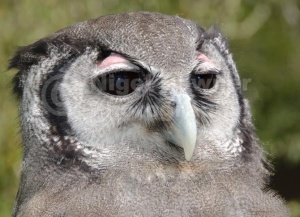 BI-0140 Milky eagle owl or Giant eagle owl