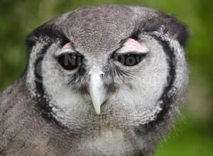 BI-0141 Milky eagle owl or Giant eagle owl