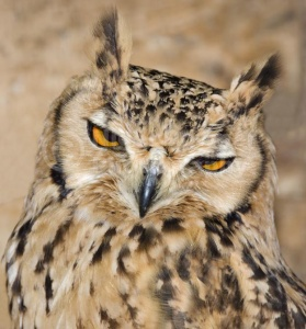 BI-0142 Savigny's eagle owl or Pharaoh eagle owl