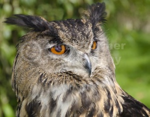 BI-0145 European eagle owl