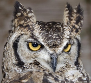 BI-0148 Spotted eagle owl or African eagle owl