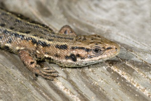 RE-0001 Common lizard