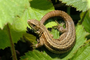 RE-0002 Common lizard