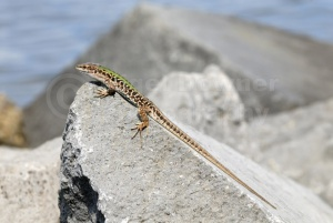 RE-0003 Italian wall lizard