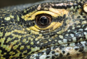 RE-0008 Nile monitor eye abstract