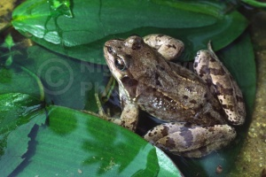 RE-0009 Common frog