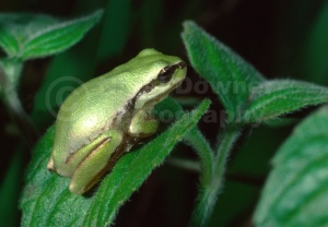 RE-0010 Common tree frog