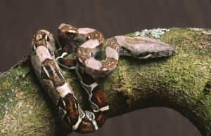 RE-0012 Young boa constrictor
