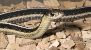 RE-0013 Common garter snake