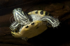 RE-0015 Yellow-bellied terrapin