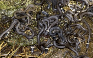 RE-0025 Young grass snakes