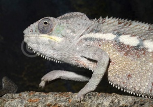 RE-0032 Sambava panther chameleon
