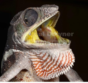 RE-0033 Sambava panther chameleon