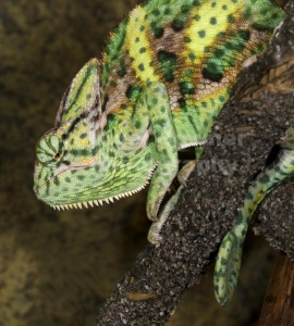 RE-0037 Yemen or Veiled chameleon