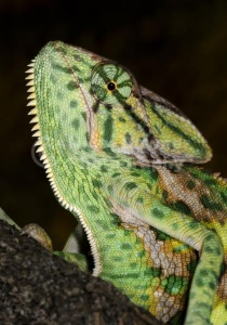 RE-0038 Yemen or Veiled chameleon