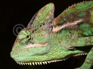 RE-0039 Yemen or Veiled chameleon