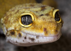 RE-0040 Leopard gecko close-up full face