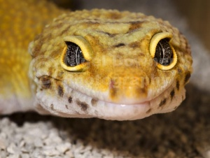 RE-0041 Leopard gecko close-up full face