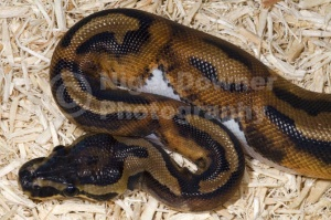 RE-0045 Piedbald royal python or Ball python