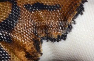 RE-0046 Piedbald royal python or Ball python skin pattern