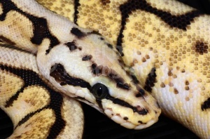 RE-0049 Bumble bee royal python or Ball python
