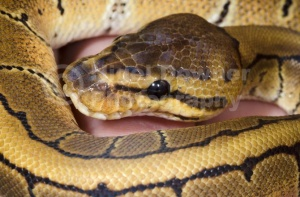 RE-0052 Pin-stripe royal python or Ball python