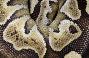 RE-0054 Mojave royal python skin pattern