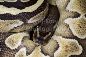 RE-0055 Mojave royal python or Ball python