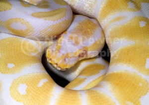 RE-0059 High Contrast albino royal python