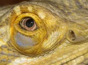 RE-0061 Bearded dragon eye close-up