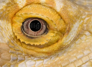 RE-0062 Bearded dragon eye close-up