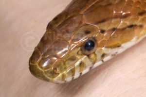 RE-0064 Corn snake or Red rat snake head close-up