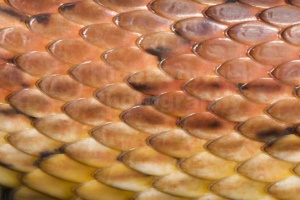 RE-0065 Corn snake or Red rat snake body scales close-up