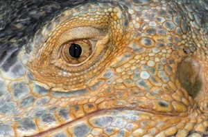 RE-0067 Green iguana or Common iguana eye and ear close-up