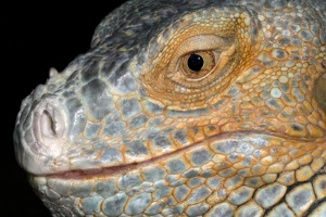 RE-0068 Green iguana or Common iguana head and face close-up