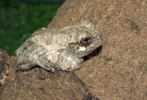 RE-0069 Grey tree frog