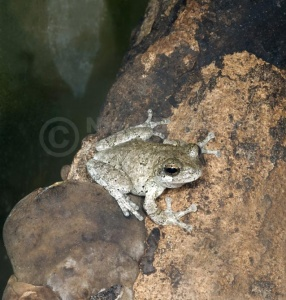 RE-0070 Grey tree frog