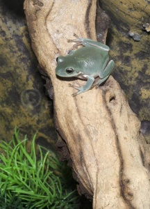 RE-0071 White's tree frog or Dumpy tree frog