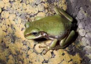 RE-0073 White's tree frog or Dumpy tree frog