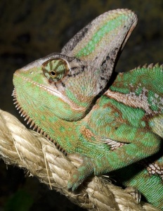 RE-0074 Yemen or Veiled chameleon