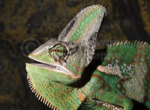 RE-0075 Yemen or Veiled chameleon