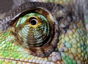 RE-0076 Yemen or Veiled chameleon