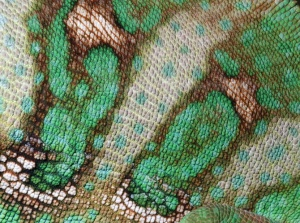 RE-0080 Yemen or Veiled chameleon