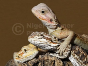 RE-0083 Bearded dragons