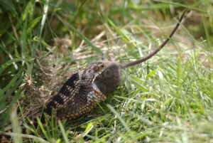RE-0084 Common adder swallowing a mouse